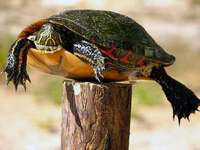 tortue-piquet